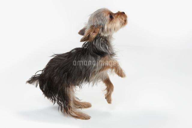 前足を上げるヨークシャテリアの子犬の写真素材 [FYI01398440]