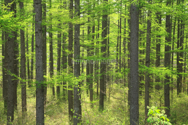 新緑のからまつ林の写真素材 [FYI01398844]
