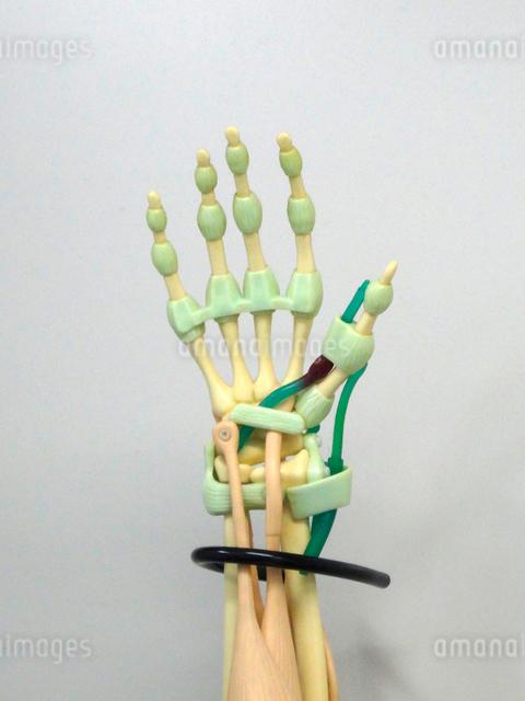 手の骨の模型の写真素材 [FYI01401854]