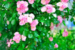 ピンクのバラの木の写真素材 [FYI01402041]