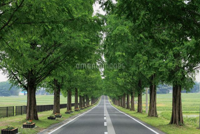 メタセコイア並木の写真素材 [FYI01402634]