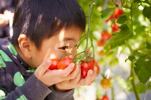 トマトと子供の手の写真素材 [FYI01402859]