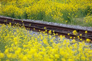 線路と菜の花の写真素材 [FYI01403171]