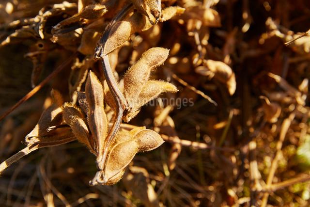 大豆の写真素材 [FYI01403268]