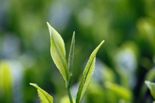新茶の葉の写真素材 [FYI01403531]