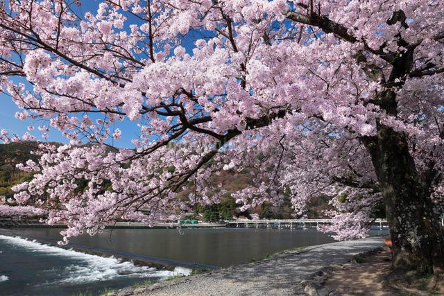 桜咲く嵐山と渡月橋の写真素材 [FYI01403717]