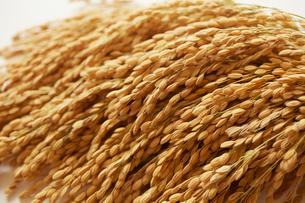 収穫したお米の写真素材 [FYI01403745]