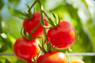 トマトの写真素材 [FYI01403823]