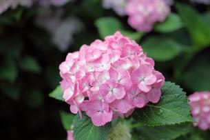 アジサイの咲く観音寺の写真素材 [FYI01403941]