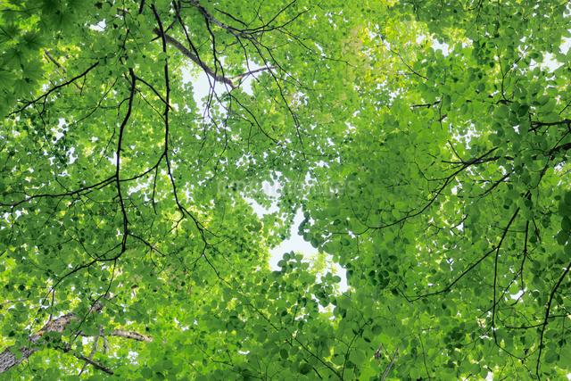 新緑の樹木の写真素材 [FYI01404262]