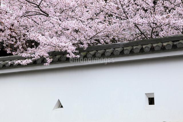 桜咲く城壁の写真素材 [FYI01404371]
