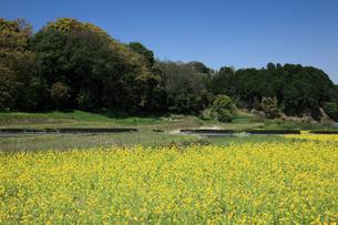菜の花と甘樫の丘の写真素材 [FYI01404939]