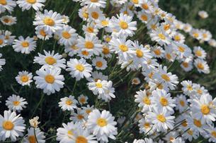 因島の除虫菊の写真素材 [FYI01405340]