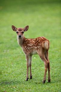 小鹿 奈良公園の写真素材 [FYI01405907]