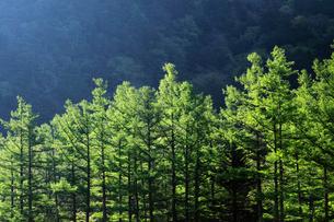 上高地と新緑のカラマツの写真素材 [FYI01406110]