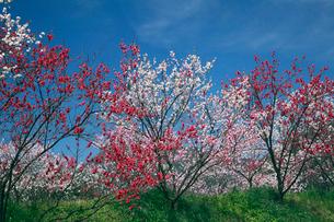 園原花桃の里のハナモモの写真素材 [FYI01406447]