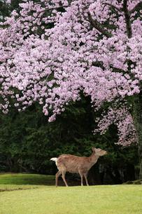 奈良公園の鹿と桜の写真素材 [FYI01406786]