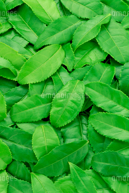 茶葉の写真素材 [FYI01407012]