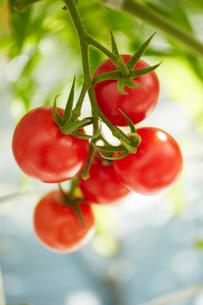 トマトの写真素材 [FYI01407424]