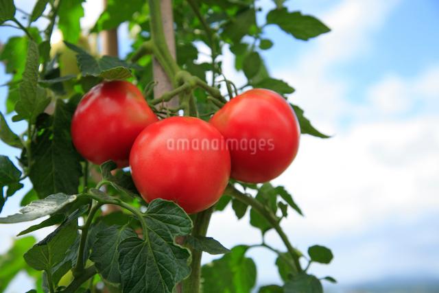 トマトの写真素材 [FYI01409891]