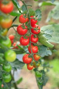 プチトマトの写真素材 [FYI01410022]