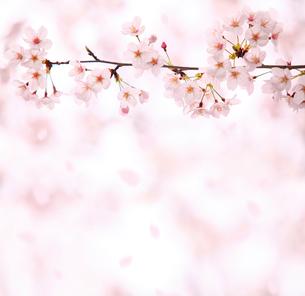 桜の写真素材 [FYI01410118]