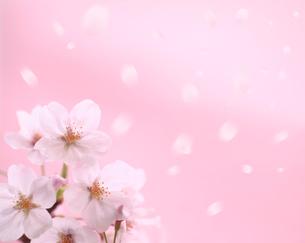 桜と舞う花びらの写真素材 [FYI01410783]