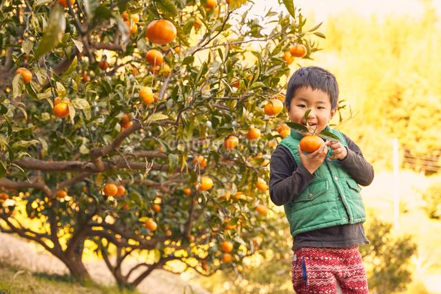 はっさくの木と男の子の写真素材 [FYI01413584]
