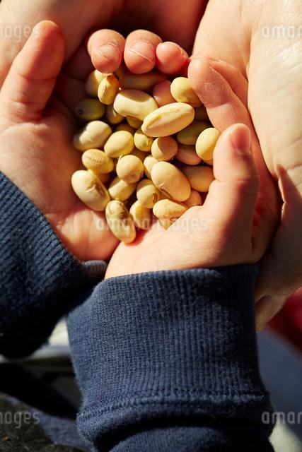 大豆の写真素材 [FYI01413693]