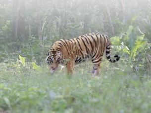 野生のベンガルトラの写真素材 [FYI01413777]