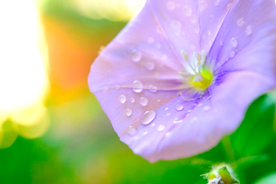 雫のついたコンボルブルスの花の写真素材 [FYI01413994]
