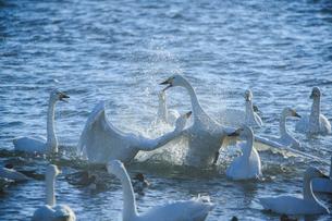 争う白鳥の写真素材 [FYI01414436]
