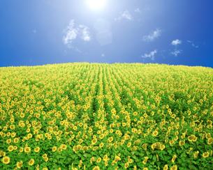ひまわり畑と太陽光の写真素材 [FYI01414446]