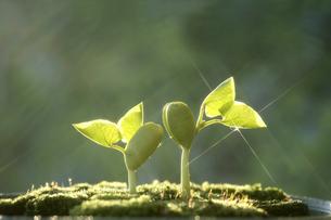 新芽の写真素材 [FYI01414882]