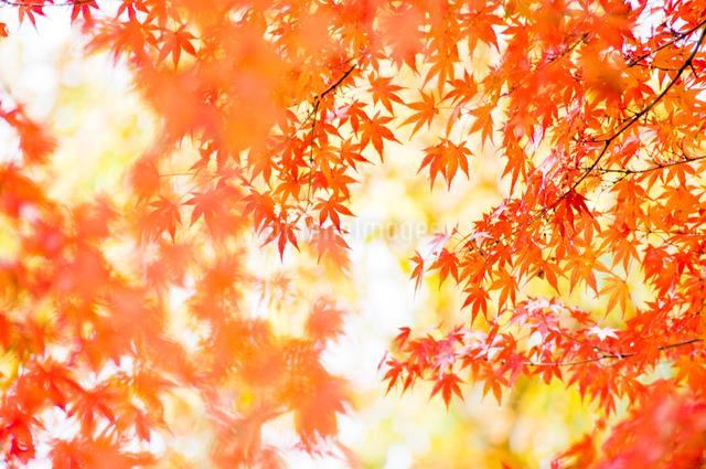 艶やかなもみじの風景の写真素材 [FYI01415037]