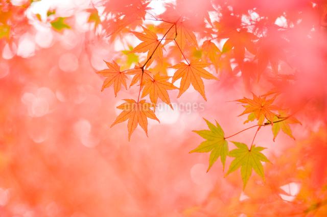 艶やかなもみじの風景の写真素材 [FYI01415152]