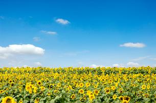 青空とひまわり畑の写真素材 [FYI01415214]