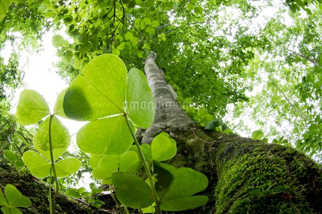 新緑の巨木の根元から見上げるの写真素材 [FYI01415433]