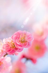 青空と日差しを浴びる梅の花アップの写真素材 [FYI01415787]