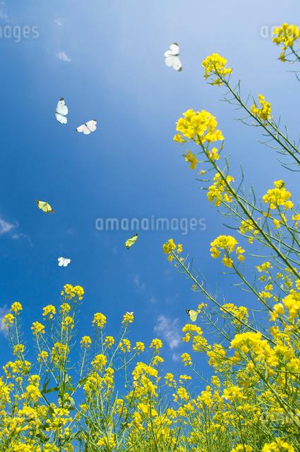 青空と数匹の舞う蝶と菜の花の写真素材 [FYI01416018]
