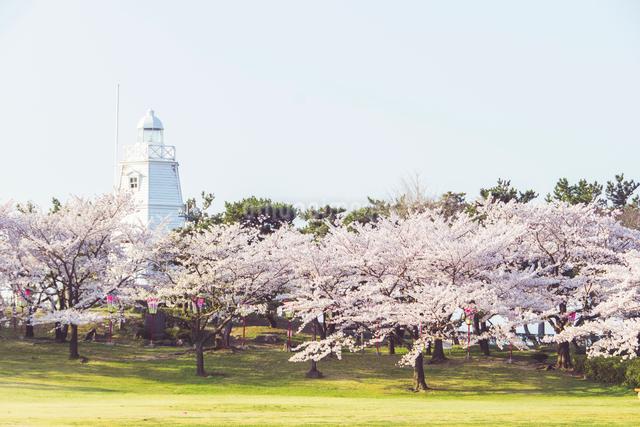 白い灯台と桜の写真素材 [FYI01416892]