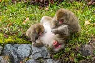 くつろぐ野生のニホンザルの家族の写真素材 [FYI01416947]