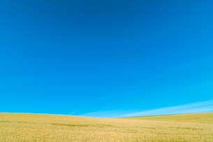 鮮やかな麦畑の写真素材 [FYI01417020]