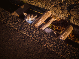 側溝に身を潜める猫の写真素材 [FYI01417213]