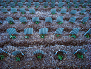 農作物を霜から守るの写真素材 [FYI01417517]