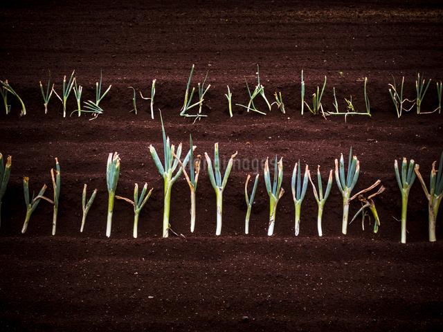 整然と並ぶ長ネギの苗の写真素材 [FYI01417525]
