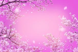 桜のピンクイメージの写真素材 [FYI01417727]