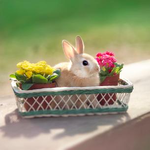 カゴの中のウサギの写真素材 [FYI01417738]
