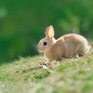 芝の上で遊ぶウサギの写真素材 [FYI01417753]