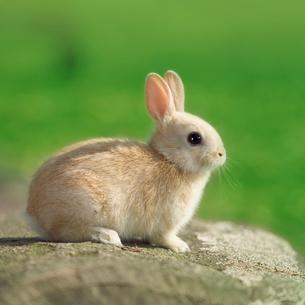 丸太の上でたたずむウサギの写真素材 [FYI01417835]